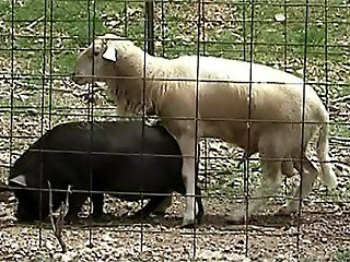 White sheep takes advantage of black pig's vagina and fucks it